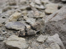 Little Gray Cricket. A cricket exploring among the rocks of a high desert Stock Images