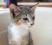 Little gray cute kitten in bucket Royalty Free Stock Images