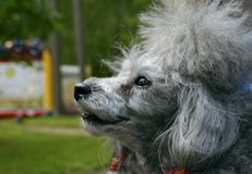 Little gray dog poodle royalty free stock photos