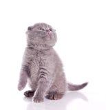 Little gray fluffy kitten Royalty Free Stock Photography