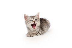 Little Gray Furious Kitten Isolated on White. Little Gray Furious Kitten with an open mouth isolated on white Royalty Free Stock Images