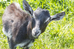 Little gray goat without of small horns Royalty Free Stock Photography