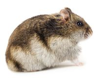 Little gray hamster Royalty Free Stock Photo