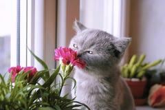 Free Little Gray Kitten Admires The Flower Stock Photography - 153427732
