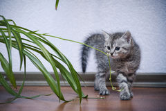 Little gray kitten arched his back and fights with a plant Stock Image