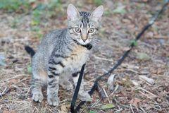 Gray kitten being educated on a leash. Little gray kitten being educated on a leash stock photo