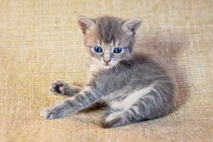 A little gray kitten with blue eyes lying carelessly,  photo in. Studio Stock Images
