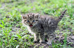 Little gray kitten hissing Stock Photo