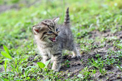 Little gray kitten hissing Stock Photos