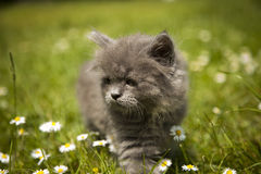 Little Gray Kitten Playing In Grass Royalty Free Stock Photos
