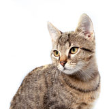 Little gray kitten Stock Images