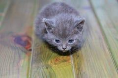 Portrait little gray kitten is scared frightened Royalty Free Stock Photos
