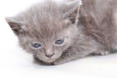 Portrait little gray kitten is scared frightened Stock Photo