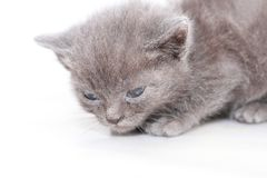 Portrait little gray kitten is scared frightened Stock Images