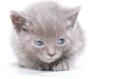 Portrait little gray kitten is scared frightened Stock Photography
