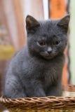Little gray kitten sitting in a wicker basket. Stock Images