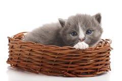 Little gray kitten Stock Images