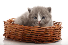 Little gray kitten Stock Image