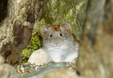 Little gray mouse Royalty Free Stock Images
