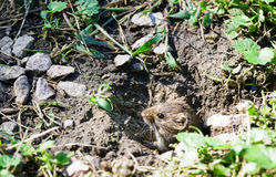 Little gray mouse. Looking out of its burrow Royalty Free Stock Photography