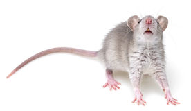 A little gray mouse Royalty Free Stock Image