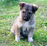 Little gray puppy. On grass Royalty Free Stock Photography