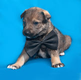 Little gray puppy in bow tie lying on blue Royalty Free Stock Photo