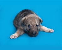 Little gray puppy lying on blue Royalty Free Stock Photos