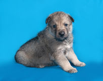 Little gray puppy sitting on blue Stock Image