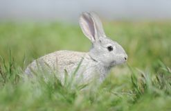 Little gray rabbit. Is sitting in green grass Stock Image