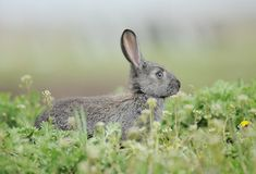 Little gray rabbit. Is sitting in green grass Royalty Free Stock Photos