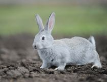 Little gray rabbit Stock Photos