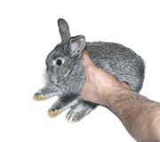 Little gray rabbit breed of gray chinchilla isolated. Little gray rabbit breed of gray chinchilla in male hand isolated on white background Stock Photos