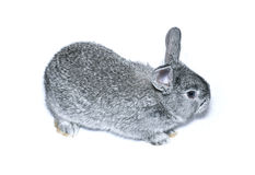 Little gray rabbit breed of gray chinchilla isolated. On white background Stock Images