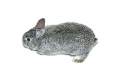 Little gray rabbit breed of gray chinchilla isolated. On white background Stock Photos