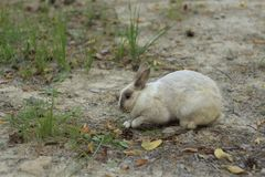 Gray Rabbit Digs. Little gray rabbit digs a soil in the forest with eye wide open Royalty Free Stock Photo