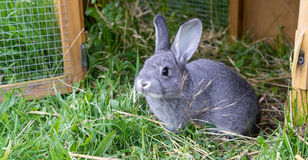 Little gray rabbit. Gray rabbit in front of the rabbit barn Royalty Free Stock Image