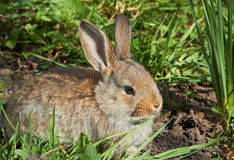 The little gray rabbit in the grass. One little gray rabbit in the grass in the meadow Stock Photo