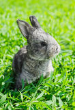 Little gray rabbit on the green lawn. Little gray rabbit sunny day on the green lawn Royalty Free Stock Images