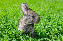 Little gray rabbit on the green lawn. Little gray rabbit sunny day on the green lawn Stock Photo