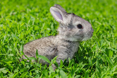 Little gray rabbit on the green lawn Stock Photos