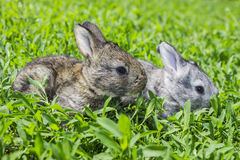 Little gray rabbit on the green lawn. Little gray rabbit sunny day on the green lawn Stock Photography