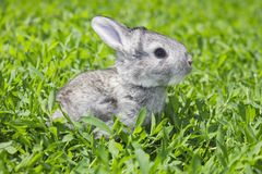 Little gray rabbit on the green lawn. Little gray rabbit sunny day on the green lawn Royalty Free Stock Photo