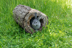 Little gray rabbit. A gray gray rabbit looks out of a hiding-place Stock Image
