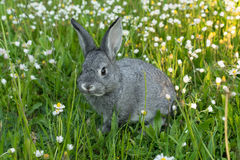 Little gray rabbit. Gray rabbit on the meadow Royalty Free Stock Photos