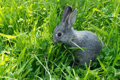 Little gray rabbit. Gray rabbit on the meadow Stock Image