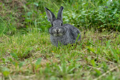 Little gray rabbit. Gray rabbit on the meadow Royalty Free Stock Image
