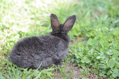 Little gray rabbit on a meadow with clover. Close up Stock Photo