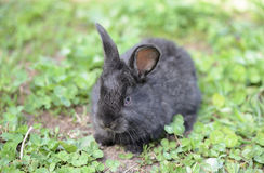 Little gray rabbit on a meadow with clover. Close up Stock Photos