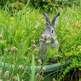 Little gray rabbit. A gray rabbit sits in a herb bed Royalty Free Stock Photography